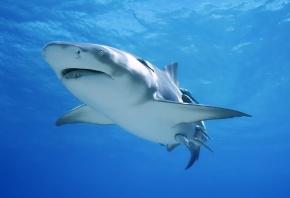 акула, море, зубы, хищник