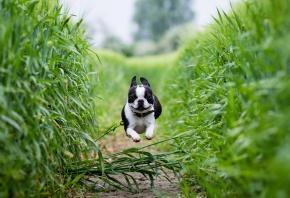 собака, Бостон-терьер, бег, поле, тропинка