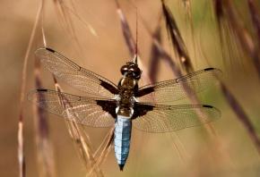 трава, колоски, стрекоза, крылья, глаза