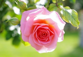 роза, розовая, бутон, листья, макро