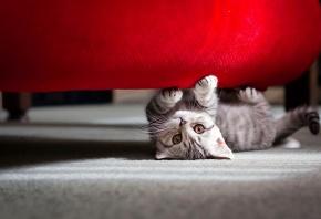 усатый, полосатый, котенок, играет, глаза