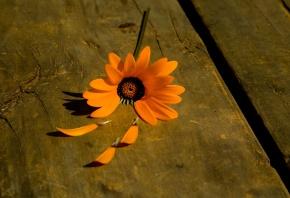 цветочек, ромашка, оранжевый, лепестки, дерево, фон
