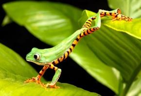 Лягушка, зеленая, прыгает, листик