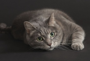 кошка, серая, взгляд, смотрит, серый фон