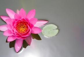 цветок, лотос, розовый, кувшинка, лист, пруд