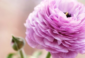 Обои лютик, цветок, розовый, лепестки, макро
