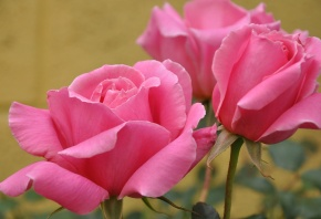 розы, розовые, фон, бутоны