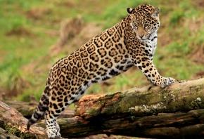 лапы, jaguar, морда, молодой, Ягуар, стоит