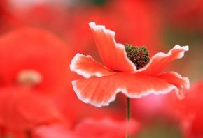 цветок, мак, красный, пестики, макро