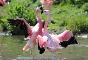 фламинго, птицы, танец