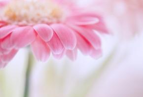 Обои цветок, розовый, нежный, лепестки, ромашка