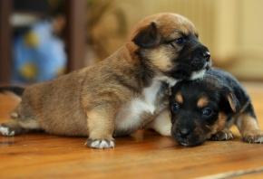 Обои собаки, щенки, дом