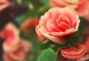 Обои роза, капли, бутон, лепестки, фон
