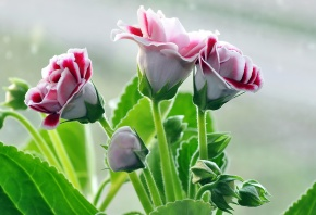 Обои розы, красивые, бутоны, букет, лепестки