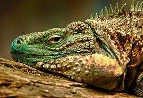 Обои игуана, ящерица, зеленая, отдыхает, глаз, чешуя