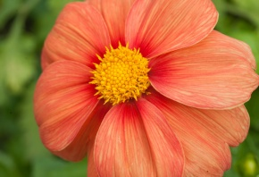 растение, цветок, лепестки, красный, жёлтый