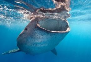 Обои кит, рот, океан, вода, голубая