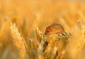 полевая, мышь, маленькая, пшеница, колосок, зерно, поле, колосья
