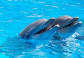 Обои дельфины, двое, улыбка, вода, голубая