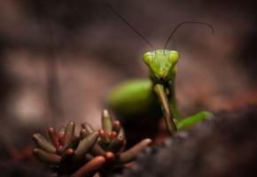 Обои богомол, насекомое, зеленый, усы, растение