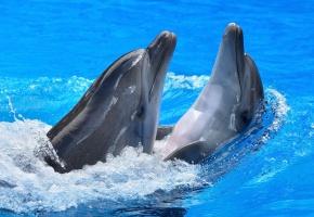 дельфины, игра, вода, голубая, плывут