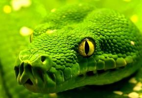 Обои змея, зеленая, голова, желтые, глаза, чешуя