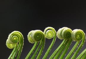 растение, усики, завитки, макро, зеленые, спираль, папоротник