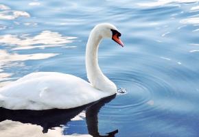 лебедь, белый, плавает, капли, вода, клюв