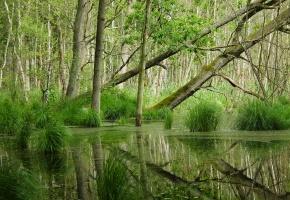 лес, болото, осока, деревья, отражение