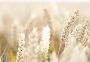 макро, пшеница, рожь, колосья, колоски, поле
