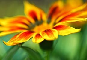 Обои цветы, цветочек, желтый, оранжевый, лепесток, лепестки, зеленый, фон, HD