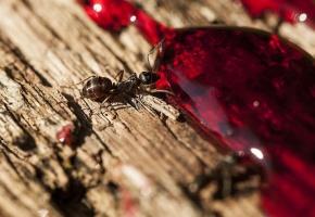Обои муравей, ant, капля, пьет, дерево