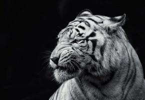 Обои Тигр, зверь, полоски, рык, оскал, хищник