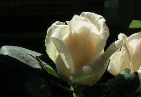 Цветок, роза, белая