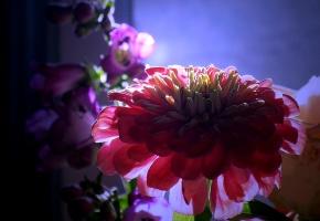 Обои Цветы, букет, цинния
