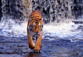 водопад, Бенгальский тигр, хищник, вода