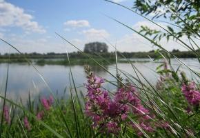 Обои Река, берег, цветы, дербенник, трава, лето