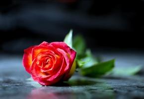 Обои роза, лепестки, макро, Красная, на столе
