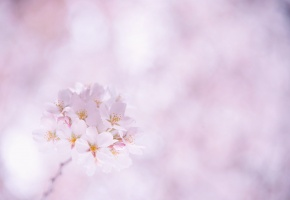 Обои лепестки, веточка, розовые, Сакура, белые, вишня