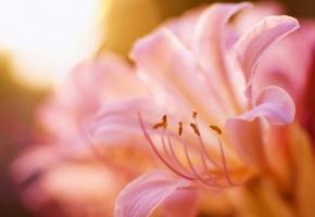 Обои лилия, розовая, лепестки, тычинки, размытость