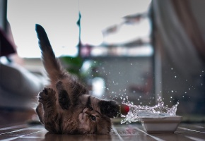 Обои Котенок, миска с водой, играется, забавный, брызги
