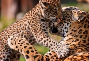 Обои леопард, котенок, хищник, лапа, усы
