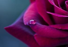 цветок, бордовая, лепестки, Роза, капелька, красная