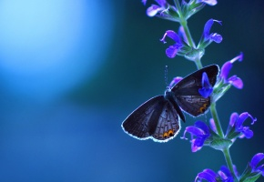 макро, бабочка, лаванда, синий фон