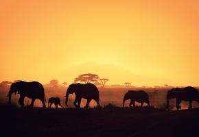 Обои африка, слоны, силуэты, деревья, закат