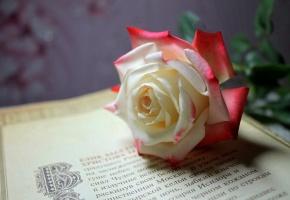 Обои Цветок, роза, страница, книга