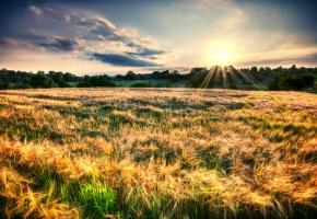 Обои природа, пейзаж, поле, растения, колосья, колоски, деревья, листва, солнце, лучи, небо, фон, обои, широкоформатные, полноэкранные, широкоэкранные, HD