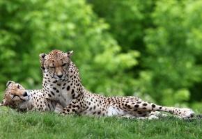 Обои дикие, пара, отдых, Гепарды, лежа, трава, хищники, кошки