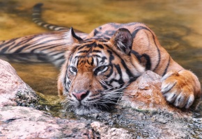 Обои тигр, отдых, вода, камни, устал