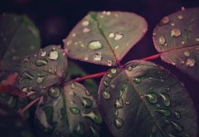 Обои Листья, макро, после дождя, капли